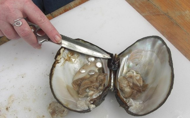 Cultured pearl grafting.
