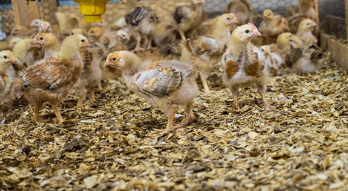 Slow-growth broiler chickens